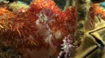 Soft Coral Crab Resting Pair 2