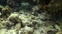 Crocodilefish Approach Shot