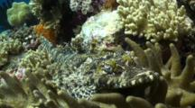 Crocodile Fish Rests On Coral, Portrait