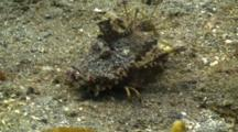 Spiny Devil Fish / Indian Walkman Walking