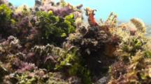 Spiny Devil Fish / Indian Walkman Resting