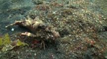 Spiny Devil Fish / Indian Walkman Walking Across Camera
