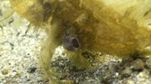 Lacy Scorpionfish Rhinopias aphanes