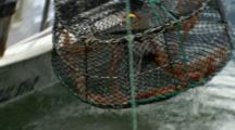 Close-Up Prawn Trap As It's Pulled Up