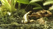 Barred Tiger Salamander Crawls Over Log