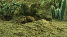 Tarantula Exits Burrow, Moves Around Desert Vegetation