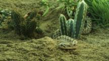 Western Hog-Nosed Snake Moves Through Desert Vegetation