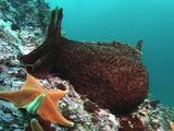 Sea Hare On Reef With Seastar