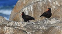 Black Oystercatchers On Rocks