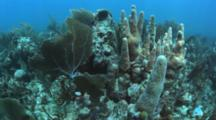Healthy Coral Reef In Cuba, Diver In Background