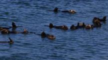 Sea Otters Swim And Rest In Elkhorn Slough In Moss Landing,California.