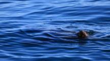 A California Sea Lion Peaks Its Head Above The Waters Of Elkhorn Slough In Moss Landing, California.