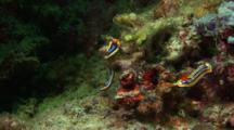 Pyjama Nudibranch On Coral Block