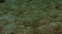 Melibe Nudibranch Feeding On Sand