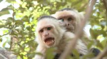 Male And Juvenile Capuchin Monkey Threatening At The Camera
