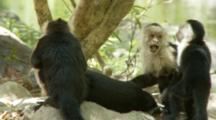 Alpha Male Capuchin Monkey Is Groomed By Two Females And A Baby On The Ground