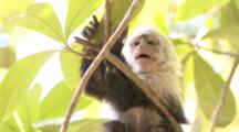 Baby Capuchin Monkey Tries To Forage From A Branch