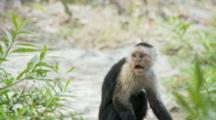 Bloody Male Capuchin Monkey Alert On Ground Bipedal