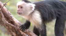 Capuchin Monkey Forages From Stick