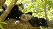 White-Faced Capuchin Monkey Group Grooming