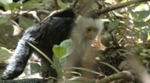 Capuchin Monkeys Foraging Along River Stream