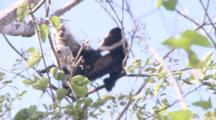 Three Juvenile Capuchin Monkeys Forage And Play In Tree