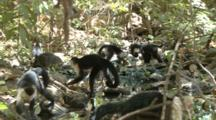 White-Faced Capuchin Monkey Group Foraging On Ground Over Stream