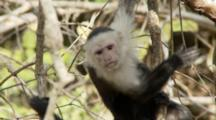 Male Capuchin Monkey Looking Around From Vine Tangle