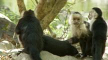 Alpha Male Capuchin Monkey Groomed By Two Females While Nursing A Baby