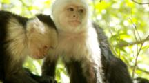 Female Capuchin Monkeys Groom Each Other And Rest
