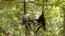 Primates Playing Stock Footage