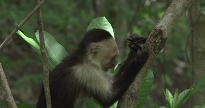 White Face Capuchin Monkey - Juvenile pounds Luehea Candida fruit to eat seeds inside