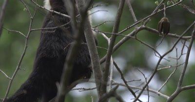 White Face Capuchin Monkey - Female eats seeds from Luehea Candida fruit