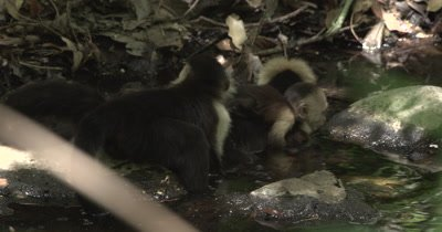 White Face Capuchin Monkey - Mother lays in stream with baby on back while juvenile inspects baby