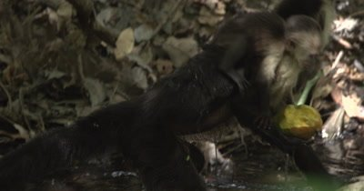White Face Capuchin Monkey - Mother travels through stream holding a mango with baby on her back