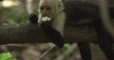 White Face Capuchin Monkey - Juvenile eats bromeliad shoot on branch
