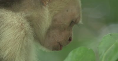 White Face Capuchin Monkey - Male eats mango