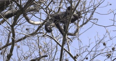 White Face Capuchin Monkey - Juvenile forages Luehea Candida fruit high in tree