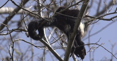 White Face Capuchin Monkey - juvenile forages and eats Luehea Candida fruit high in tree