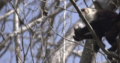 White Face Capuchin Monkey - Juvenile forages from Luehea Candida fruit high in tree