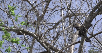 White Face Capuchin Monkey forages Luehea Candida fruit high in tree