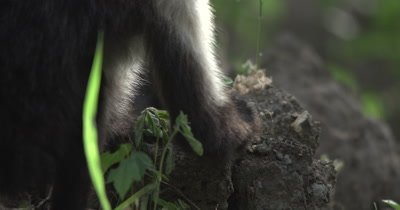 White Face Capuchin Monkey - Juvenile pounds Luehea Candida fruit on rock and eats seeds