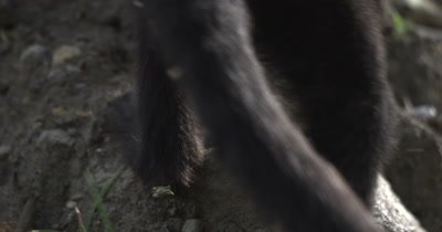 White Face Capuchin Monkey - Juvenile walks past Luehea candida fruit on ground