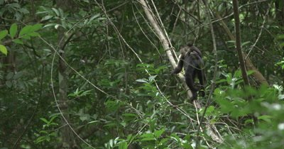 White Face Capuchin Monkey - Mother with baby on back climb vines across trees