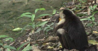 White Face Capuchin Monkey - Mother eats mango on ground while baby nurses