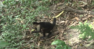 White Face Capuchin Monkeys foraging mangos from ground