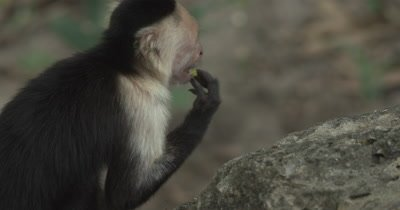 White Face Capuchin Monkey - Male forages mango on cliff edge while mother and baby eat in background