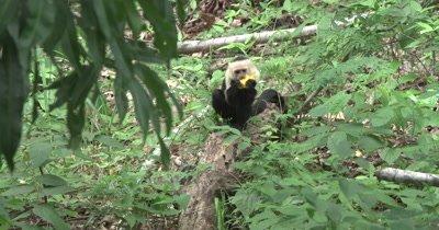 White Face Capuchin Monkeys - Male eats mango on ground