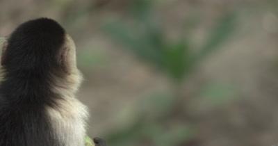 White Face Capuchin Monkeys - Male eats mango