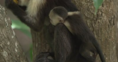 White Face Capuchin Monkeys - Baby climbs and plays on Mother's tail while she eats a mango